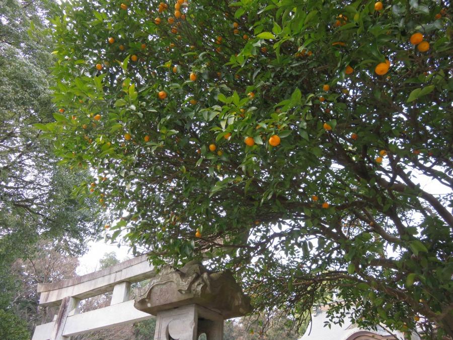 60.橘始黄(たちばなはじめてきばむ)